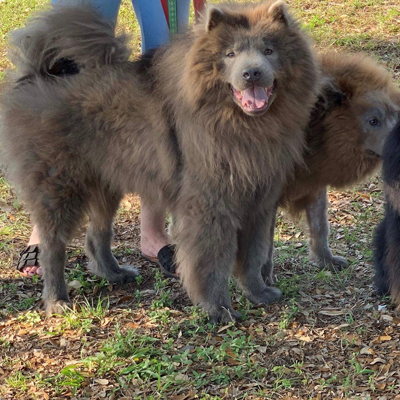Jack and Liam | Chow Chow Rescue Society
