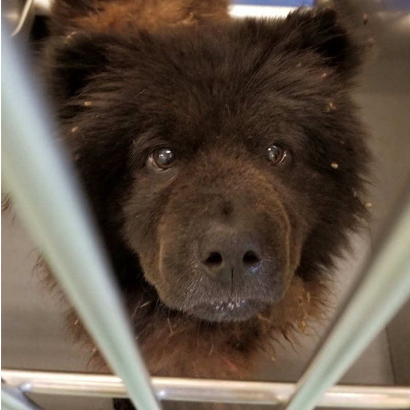 Caliope | Chow Chow Rescue Society