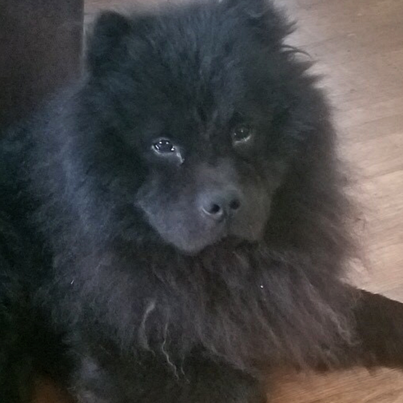 Howie | Chow Chow Rescue Society